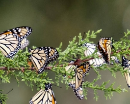 Environmental groups push feds on monarch butterfly protections