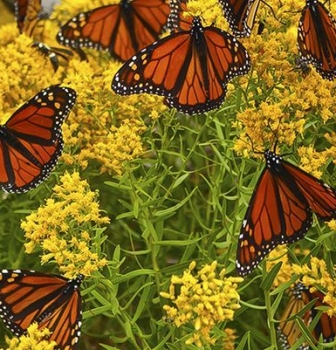 What does the decline of the Monarch Butterfly population in Mexico have to do with a declining Business?